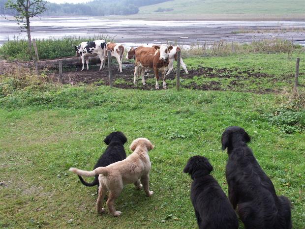 Früh übt sich, wer ein Hofhund werden will